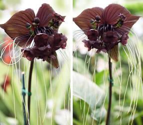 Bat Flower by theresahelmer