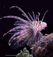 Lionfish by theresahelmer