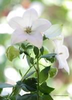 Garden White Balloon Flower by theresahelmer