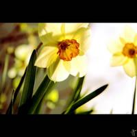 spring flower I. by JoThomasPhotography