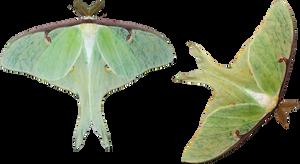 Luna Moths by EnchantedWhispersArt