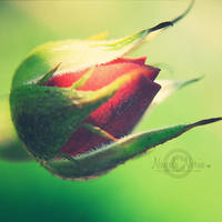Red Rose by NayeliNeria