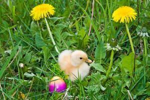 Little duck in the grass by mudukrull