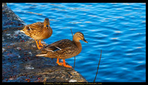 Coolnahay Ducks by fluffyvolkswagen