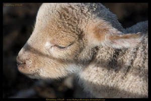 Legan Rock Lamb, Ireland by fluffyvolkswagen