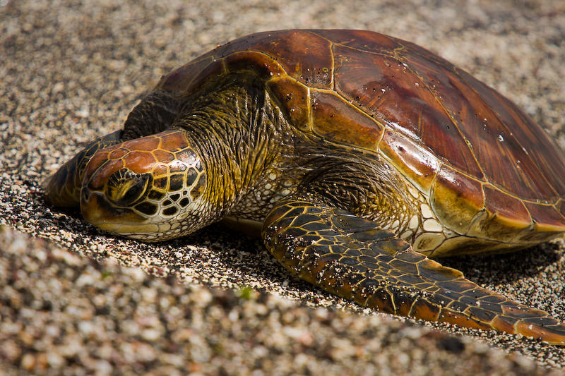 Turtle by abey79