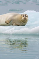 Seal by abey79