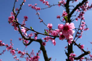 Pink Blossom by Tul-152