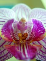 Orchid Turkey by Tul-152