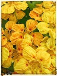 how my garden grows V - Nasturtiums! by lunacatd