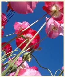how my garden grows III - Poppies! by lunacatd