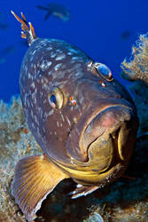 Grouper from Kas by carettacaretta