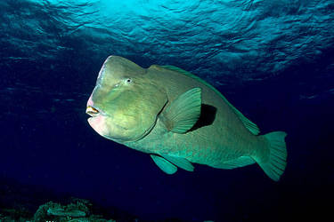 Bumphead parrot fish by carettacaretta