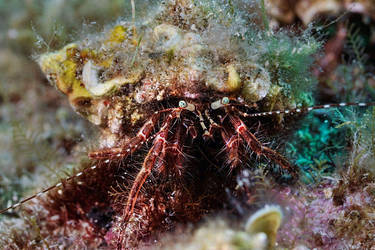 Crab from Gokceada by carettacaretta