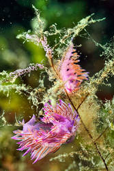 Breeding sea slugs by carettacaretta