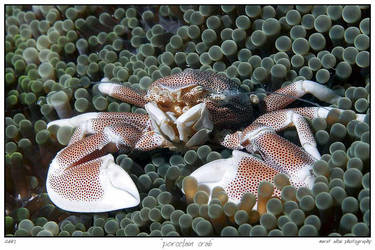 porcelain crab by carettacaretta