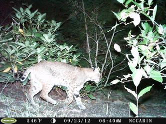 Mountain Home Visitor. Bobcat. by JaxTracRat