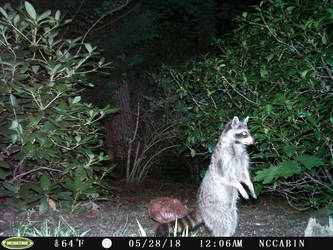 Mountain Home Visitor: Raccoon by JaxTracRat