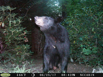 Mountain Home Visitor: Black Bear by JaxTracRat