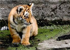 tiger cub by derfabo