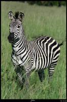 Zebra by Exitialis