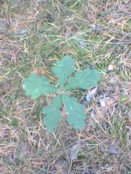 Lucky Oak Star. by Kiborg-Graph