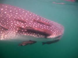 Whale shark3 by Sarudanya