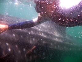 Whale shark4 by Sarudanya