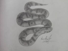 Cottonmouth: Semiaquatic Pitviper of Many Names by ArminReindl