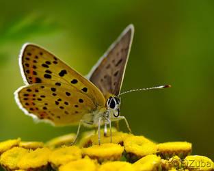 Lycaena tityrus:. by efeline