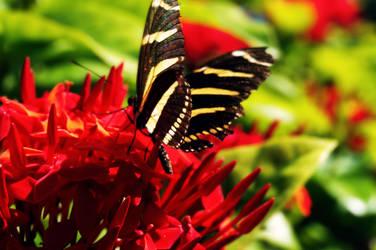 Zebra Longwing Butterfly by byfrankiec