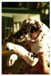 Dalmation pup by c2de