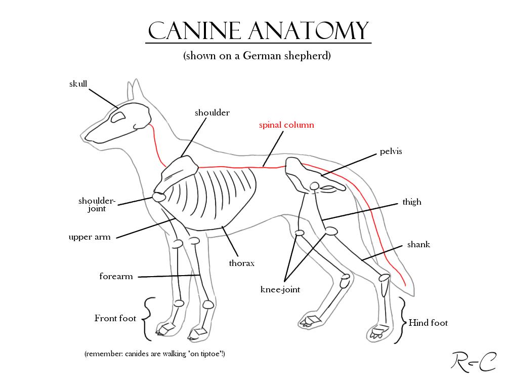 Canine Anatomy Study By Darkrika On Deviantart