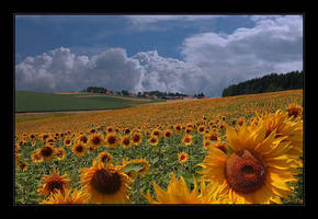 sunflower field by Hartmut-Lerch