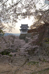 Tsuyama Cherry Blossoms by koala2all