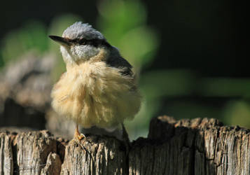 The cutest nuthatch ever by plumita1