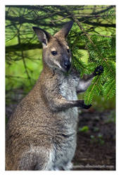 Kangaroo by Liuanta