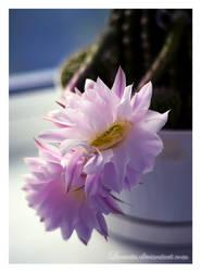 Cactus flowers by Liuanta