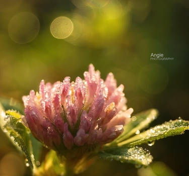 Little Morning Glory by Angie-AgnieszkaB