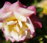 Rose 7 by Moisl