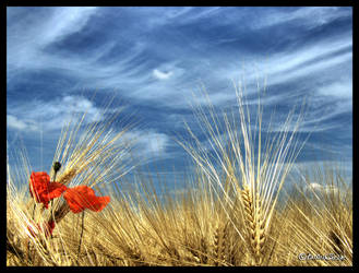 Fields of Gold HDR by andrearossi