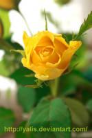 yellow rose by YaLis