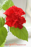 red flower from a window by YaLis
