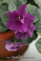 violet by YaLis