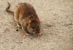 The harbour Rat by fmlavita