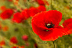 corn poppy 1 by kleinerEngl