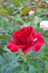 Flower DOP by shaheeed