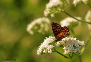 Papillon 5 by Cristinaconte