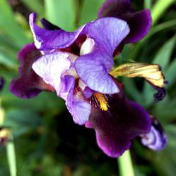 Purple Iris II by spineglue