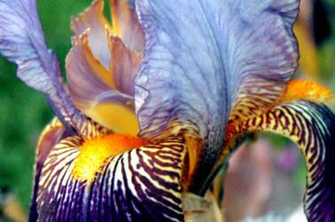 Iris Upclose by spineglue